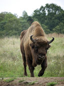 Bison on meadow — Stock Photo