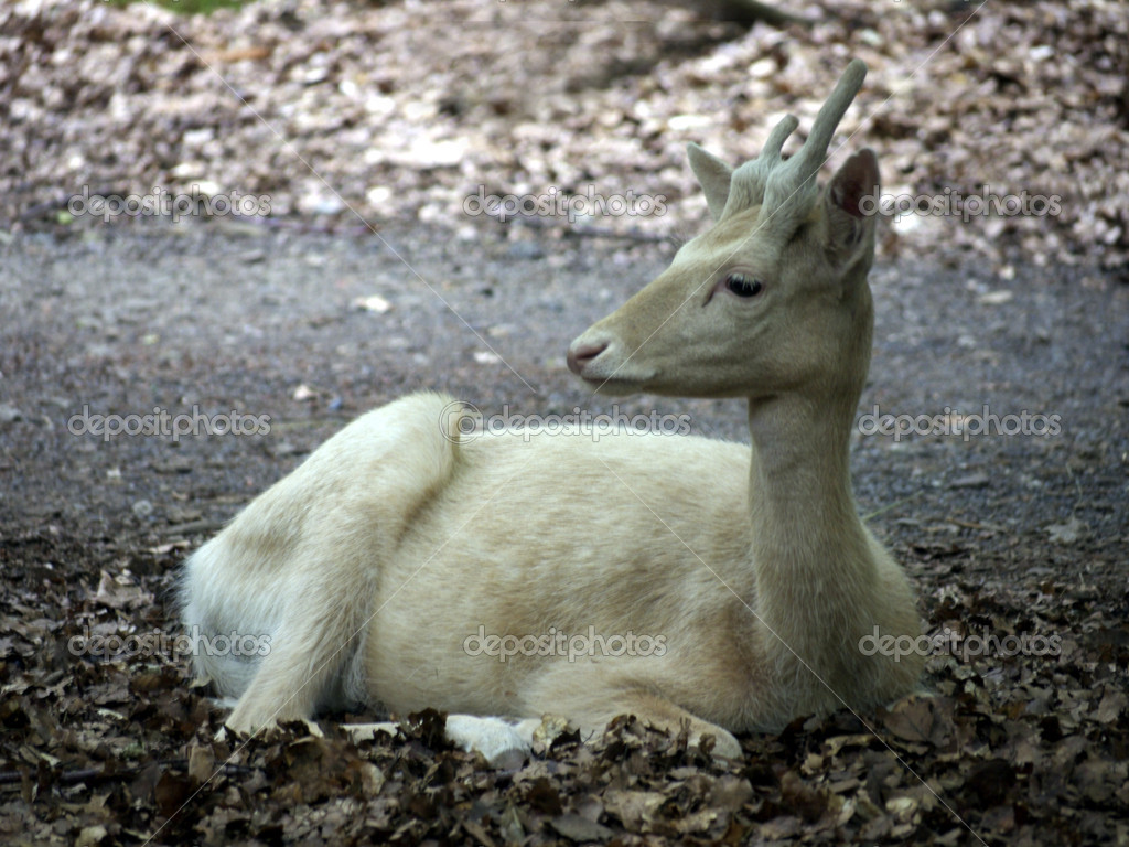 White deer is resting in the forest  Stock Photo #3962287