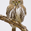 Royalty-Free Stock Photo: Pearlspotted Owl