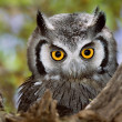Royalty-Free Stock Photo: Whitefaced Owl