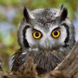 Stock Photo: Whitefaced Owl