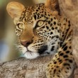 Leopard — Stock Photo #3971794