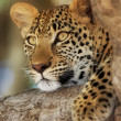 Royalty-Free Stock Photo: Leopard
