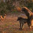 Chacma baboons - Stock Photo