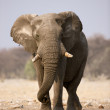 Stock Photo: Elephant bull