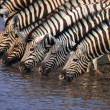 Royalty-Free Stock Photo: Group of Zebras drinking