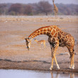 Stock Photo: Giraffe drink at waterhole