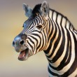 Stock Photo: Zebra calling