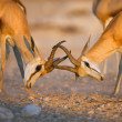 Springbok fighting — Stock Photo