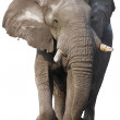 Elephant isolated — Stock Photo