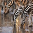 Zebras drinking — Stock Photo #3973074