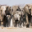 Stock Photo: Elephant herd