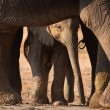Elephant calf - Foto Stock