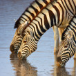 Zebras drinking — Stock Photo #3973474