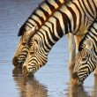 Stock Photo: Zebras drinking