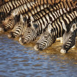 Zebras drinking — Stock Photo #3973496