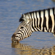 Zebra drinking - Stock Photo