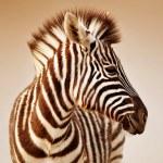 Zebra portrait — Stock Photo