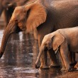 Elephants drinking — Stock Photo #3973663