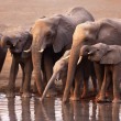 Elephants drinking — Stock Photo #3973686