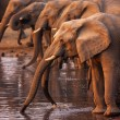 Elephants drinking - Stock Photo