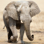 Elephant portrait — Stock Photo