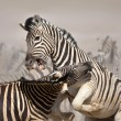 Stock Photo: Zebras fighting