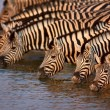 Zebras drinking — Stock Photo