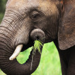 Elephant eating close-up — Stock Photo #3974262