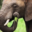 Elephant eating close-up — Stock Photo