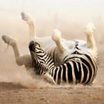 Постер, плакат: Zebra rolling