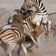 Zebras fighting - Stock Photo