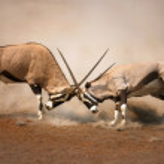 Gemsbok fight — Stock Photo