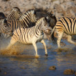 Zebra's running through water — Stock Photo