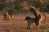 Chacma baboons — Stock Photo