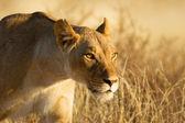 雌ライオン — ストック写真