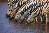 Group of Zebras drinking — Stock Photo
