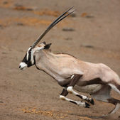 Gemsbok running — Stock Photo