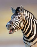 Zebra calling — Stock Photo