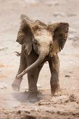 Baby elephant running — Stock Photo