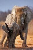 Bebek fil — Stok fotoğraf