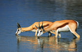 Springbok in water — Stock Photo