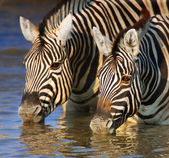 Zebras drinking close-up — Stockfoto