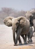 слон стадо — Стоковое фото