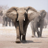 Elephant herd — Foto de Stock