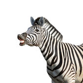 Laughing zebra — Stock fotografie