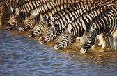 Zebry, picie — Zdjęcie stockowe