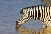 Zebra drinking — Stock Photo