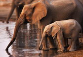 Słonie picia — Zdjęcie stockowe