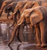Filler içme — Stok fotoğraf